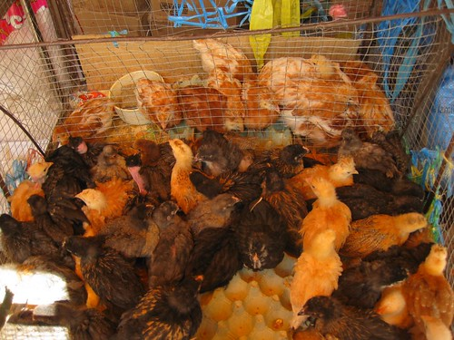 baby chickens for sale