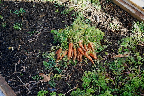 winter carrots