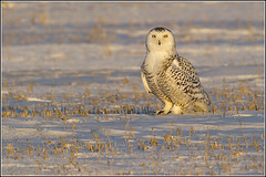 Owl (Snowy) - 1216 (Earl Reinink) Tags: flight raptor snowyowl snowyowlinflight earlreinink wwwearlreininkcom wwwipaintca