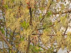 Eschen-Ahorn (Acer negundo) (blumenbiene) Tags: flowers tree spring acer frühling blüten ahorn negundo eschenahorn