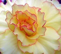Edged in Pink (Mary Faith.) Tags: summer sun plant flower macro art nature yellow bulb garden ruffles gold design waves curves hobby collection begonia bloom layers delicate glasshouse hothouse tuber varigated potplant frilled edgedinpink