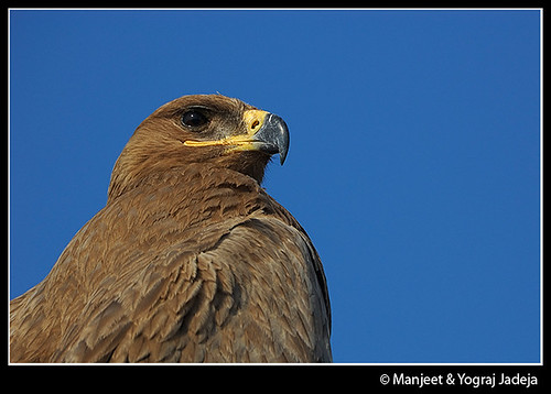 steppe eagle closeup