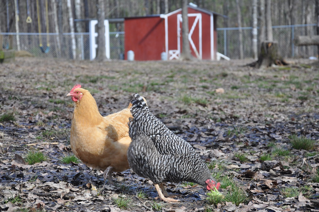 Hens enjoying the backyard
