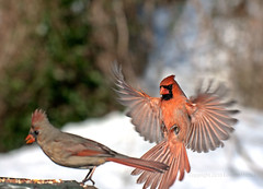 Northern Cardinal male and female 7901 (Edward Mistarka) Tags: winter red food usa brown white snow black cold cute ecology beautiful birds horizontal landscape freedom healthy movement afternoon gray warmth seed maryland seeds health hunger mating hungry prey bliss frigid survival tranquil alert attraction bonding tenacity nutrition ecofriendly malecardinal cardinaliscardinalis femalecardinal sustenance redbird northerncardinal sharpfocus supershot bej specanimal avianexcellence goldstaraward ubej environmentsafe cardinalflying bestpot northerncardinalflying survivalexpert birdforaging foragingforseeds northerncardinalforagingforseeds cardinallanding northerncardinallanding twobird