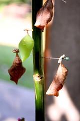 chrysalis (Joscar105) Tags: hoja leaf caterpillar mariposa chrysalis gusano capullo metamorphosis butterflie oruga metamorfosis