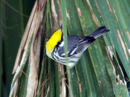 Yellow-throated Warbler 3-20100301
