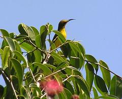 australie yellow-bellied sunbird (thiery49) Tags: bird australia oiseau eastcoast australie daintreeriver nectariniajugularis yellowbelliedsunbird coteest