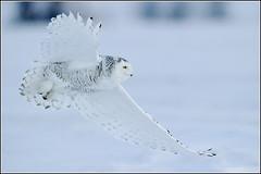 Owl (Snowy) - 1825 (Earl Reinink) Tags: raptor snowyowl snowyowlinflight earlreinink wwwearlreininkcom wwwipaintca