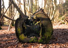 rotten to the core (Mig Bardsley) Tags: winter light tree woods afternoon fallen stump rotten