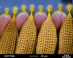 Segment of Butterfly Wing (Detail) (FEI Company) Tags: fei microscopy magnification nanotechnology electronmicroscope nanoimage feicompany microscopyimage xlsemfamily feiimagecontest