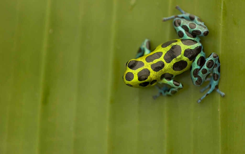 poison dart frog research paper Toxic effects of native poison dart frogs (dendrobatidae) in costa rica the toxins in the poison dart frog can be current medicinal purposes and research.