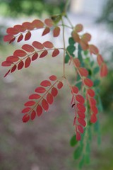 Red toned new leaves of shaggy barked Lysiloma sabicu (jungle mama) Tags: red usa tree green leaves paper leaf pod florida miami bark tropical shaggy fabaceae tropicaltree coth supershot mimosoideae bej platinumphoto diamondclassphotographer flickrdiamond ysplix lysiloma rubyphotographer dragondaggerphoto updatecollection coth5 naturesgreenpeace miamitree horsefleshmahogany lysilomasabicu treewithpods biscayneparkflorida tropicaltreewithgreenandredleaves shaggybarktree newleavesarered