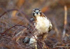 Red-tailed Hawk (Finiky) Tags: bird nature nikon wildlife raptor finiky d3 birdofprey redtailedhawk kundalini 600mm nikond3 600mmf4afsii