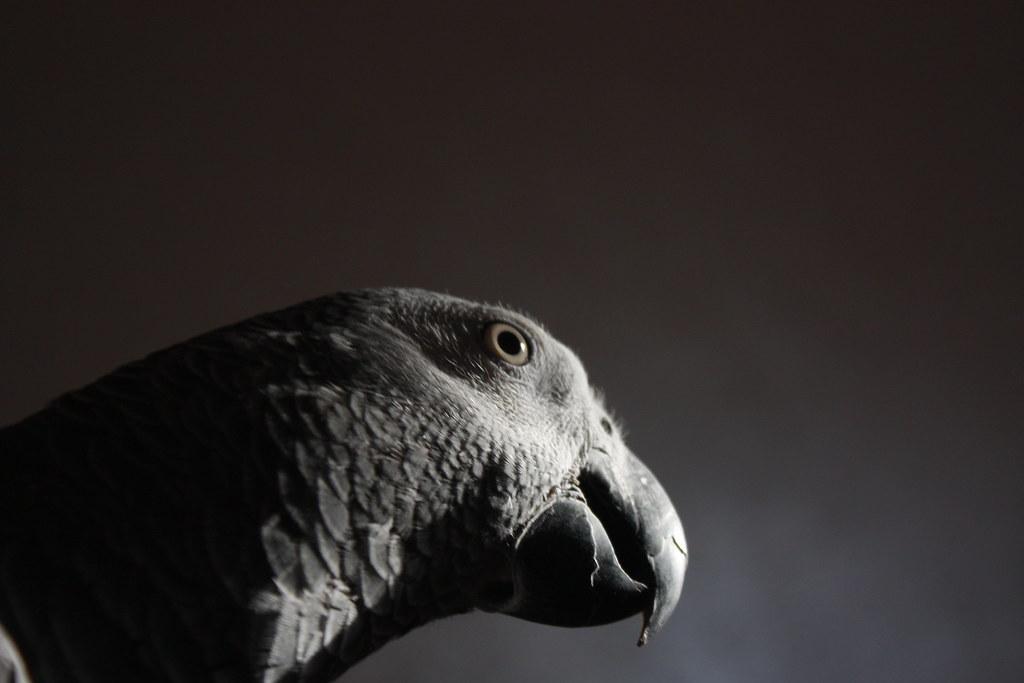 African parrot ((casko))