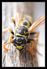 Vespa (matt :-)) Tags: macro nature bug insect vespa wasp tube micro extension mattia wespen insetto gupe naturalmente naturesfinest kenko vespidae 105mmf28dmicro macroextreme  nikond80 naturewatcher macrolife consonni mattiaconsonni