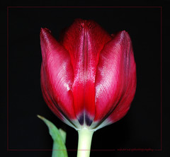 Tulip time! (bluejay 2006) Tags: red flower green nature fleur rouge tulip tuesday naturesfinest coth supershot nikond40 bluejay2006 dragondaggerphoto mharveyphotography