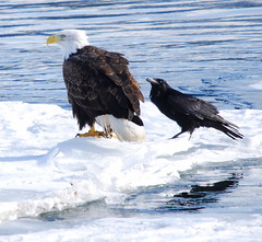 Unlikely Mates (kdee64) Tags: winter baldeagle haliaeetusleucocephalus yukonriver corvuscorax commonraven specanimal thewonderfulworldofbirds slbcrossspeciesinteraction slbnictitatingmembranedisplay