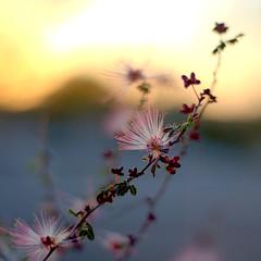 desert flower (nosha) Tags: pink sunset arizona sky orange flower phoenix beautiful beauty yellow grey desert bokeh horizon az explore explored