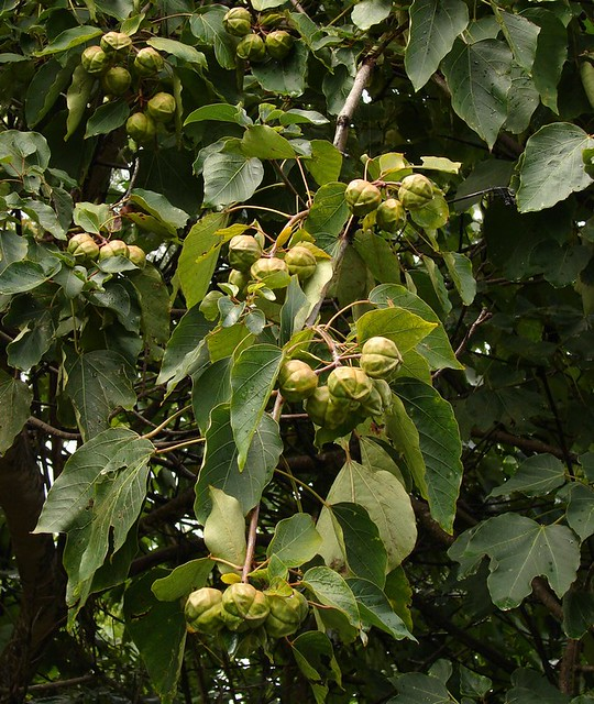 Tung Tree fruits - source for oil