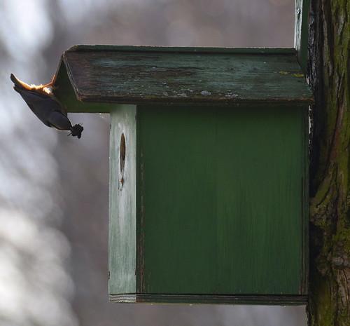 Kleiber hat sich ein Vogelhaus zum Nestbau ausgesucht