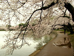 Cherry Blossoms Cloud Walk (Kurlylox1) Tags: pink trees white reflection water puddle washingtondc petals spring path branches flowering sakura cherryblossoms ripples blooming yoshino tidalbasin overhanging