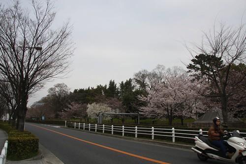 A promenade of Sakuranamiki