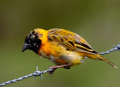 Tecelo-de-cabea-preta/ Black-headed Weaver  (Ploceus melanocephalus) (Rosa Gamboias/ on vacation) Tags: naturaleza portugal nature birds animals fauna wildlife natureza birding vogels aves uccelli pjaros animaux vgel animais ornithology birdwatching pssaros oiseaux avifauna  passeriformes naturesfinest ploceusmelanocephalus blackheadedweaver vidaselvagem tecelodecabeapreta passerines barrocadalva exoticbirds ornitologia exticas passereaux  rosagambias