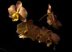 Orchid Glow (dillspics) Tags: orchid flower dark glow f11 soe diffused supershot 25secs diamondclassphotographer flickrdiamond