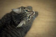Hanzo's Looking Up (michaeljosh) Tags: cat feline nikkor50mmf14d project365 tabbypersian nikond90 michaeljosh hanzoslookingup