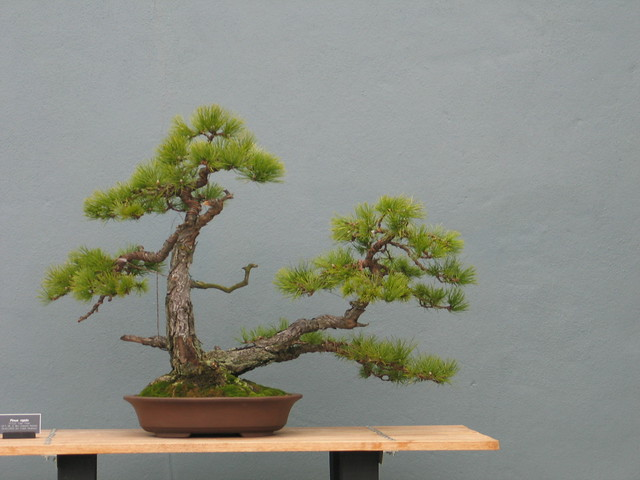 <em>Pinus rigida</em> in the mother daughter or double trunk style. Photo by Rebecca Bullene.&#8221; /></a></p> <div><em>Pinus rigida</em> &#105;&#110; &#116;&#104;&#101; mother daughter &#111;&#114; double trunk style. Photo &#98;&#121; Rebecca Bullene.</div> </div> </div> </div> </div> </div> <div> <div><img src=