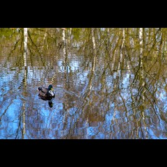 Aquarelle (Hans van Reenen) Tags: reflection nijmegen duck pond nederland thenetherlands birch botanicalgarden birches k7 botanischetuin hortusarcadi 20100407