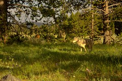 Yellowstone Coyote (dennoit) Tags: coyote wild nature animal nationalpark twilight wolf yellowstonenationalpark yellowstone wyoming