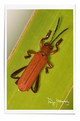 Elongated Beetle (Ringgo Gomez) Tags: sarawak 1001nights soe awesomeshot kfk youmademyday worldbest nikond90 flickraward tamronsp90mmmacro concordians nikonflickraward sarawaktourism