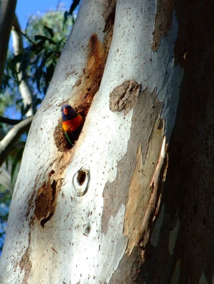 lorikeet in lair02