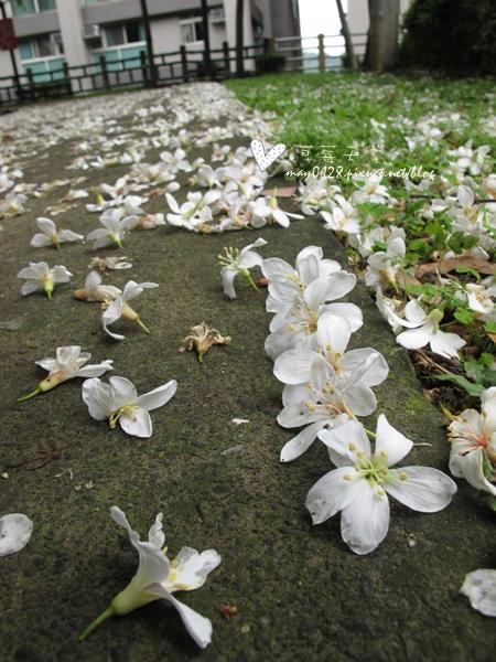 油桐花13-2010.04.18
