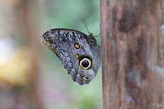 baudchon-baluchon-mindo-papillons-12