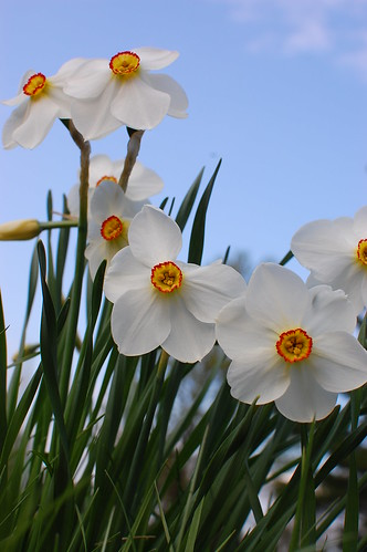 My favorite Narcissus
