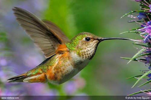 Allen's Hummingbird drinking nectar