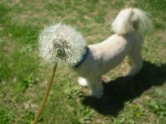 (nrossi1281) Tags: original dog flower cute funny humorous close random creative dandelion laugh