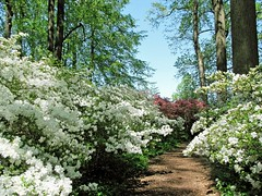Winterthur 4-23 (PHOTOPHANATIC1) Tags: philadelphia azaleas delaware wilmington winterthur