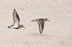 Pilrito-comum (dragoms) Tags: bird ave dunlin calidrisalpina cabedelo birdwatcher pilrito esturiododouro pilritocomum reservanaturallocaldoesturiododouro dragoms