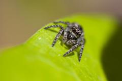 Goggle Boy (Matty7D) Tags: macro green spider eyes goggles jumper jumpingspider salticidae sigma105mm