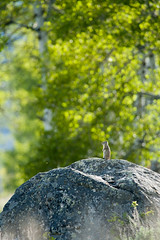 It's a Big World Out There (Andrew Kandel) Tags: nature spring wildlife small boulder wyoming aspen afternoonlight grandtetonnationalpark spermophilusarmatus uintagroundsquirrel
