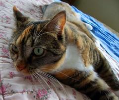 Gracie 16 April 2010 1409b 120 (edgarandron - Busy!) Tags: cats cute cat gracie feline tabby kitty kitties torbie patchedtabby