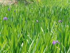 Irises Ota Shrine