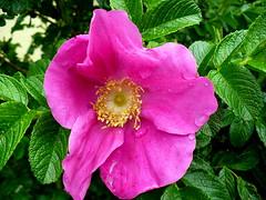 ROSA RUGOSA (anoste40) Tags: flower fleur rose pistil ptales arbuste tamines rosierrugueux rosierdujapon