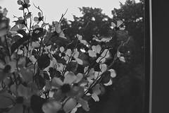 (yourscreendoor) Tags: flowers white black nature monochrome mono emotion tone tonal