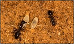 Transportando los huevos (Fotgrafo-robby25) Tags: insectos hormigas macrofotografa canoneos5d canonef180mm
