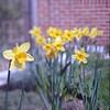 narcissi (Skink74) Tags: flower 120 6x6 film yellow wall bulb garden spring dof kodak bokeh bricks swing bronica daffodil bellows narcissus c41 s2a zenzabronicas2a ektar100 s2ac004 nikkorq135f35 bellowsattachmentmodel2 nikkorq135cm135