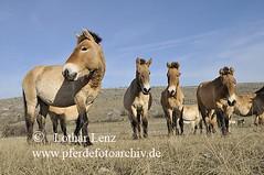 _LL13943 (Lothar Lenz) Tags: horse caballo cheval cavalo pferd steppe hest equus paard hst hestur herde konj hobu zirgs przewalskipferd wildpferd caussemjean fotolotharlenz kargeweide